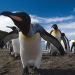Photograph of the week: King penguins on South Georgia