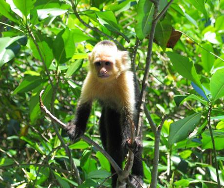 White headed capuchin monkey, Costa Rica
