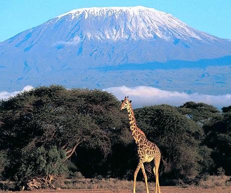 Mount Kilimanjaro giraffe