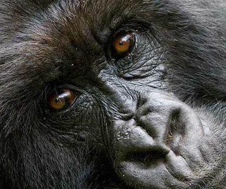 Gorillas, Sabyinyo