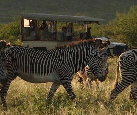 Samburu zebra