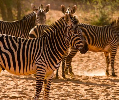 Tswalu zebra