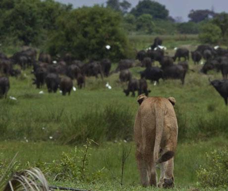 Duba Plains lion hunting