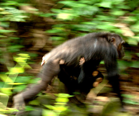 Chimpanzees, Mahale