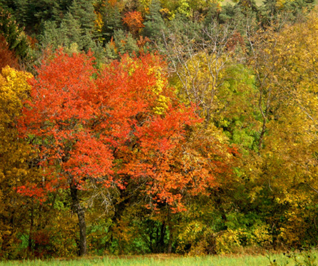 Red trees in Autumn