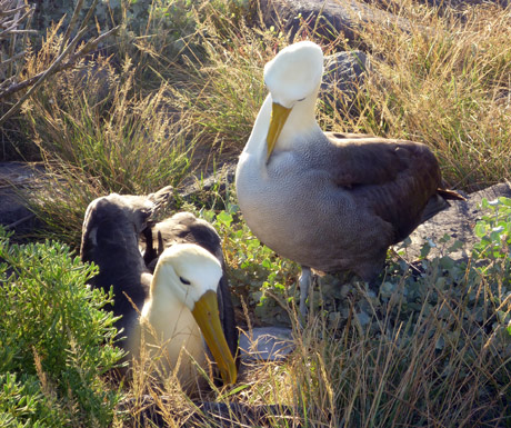 Albatrosses April-June