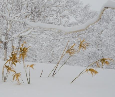 Asahidake flowers in the snow