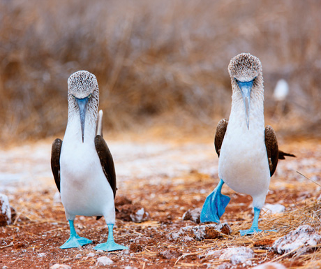 Blue-footed boobies July-Sep