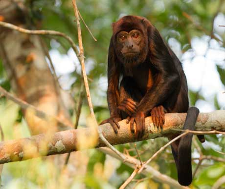 Cristalino Red howler monkey