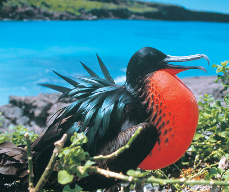 Frigatebird July - Sep