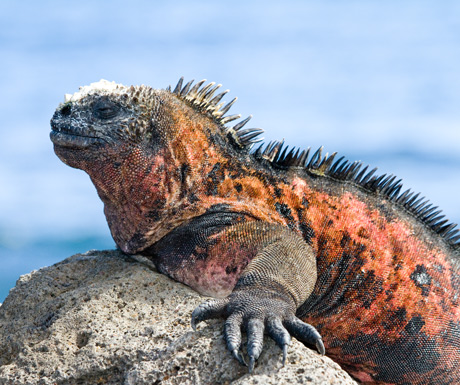 Marine iguana Jan-Mar