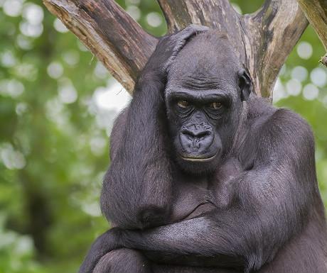 Rwanada gorilla