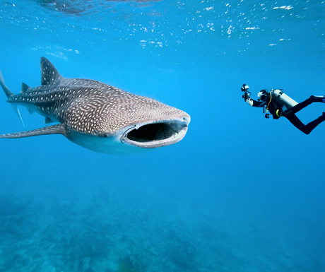 Whale shark diving, Maldives