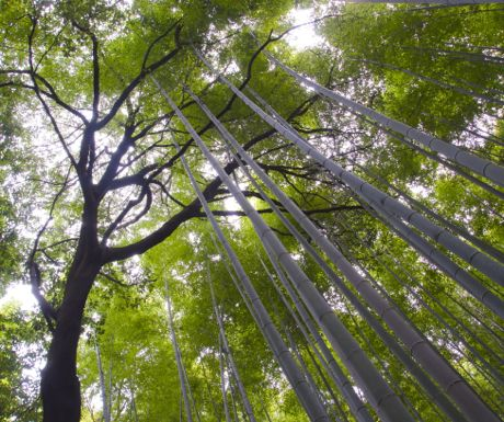 Bamboo forest-Japan