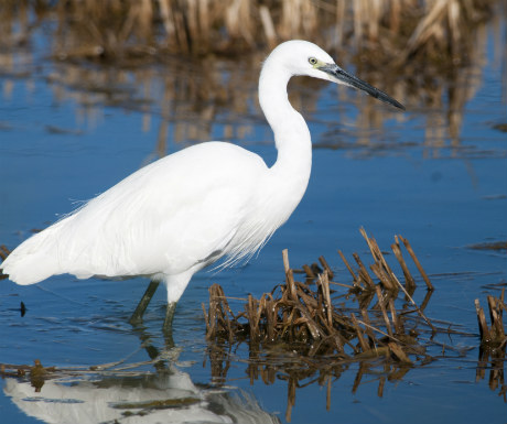 Little Egret Ebro Delta