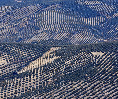 Olive Groves Forever