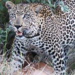 Top 5 big cat luxury safaris