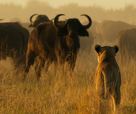 duba-plains-lions-and-buffalo