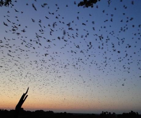 Bats migration in Kasanka National Park Zambia