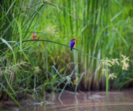 Kingfisher in the green season Luangwa River Zambia