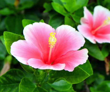 Pink Hibiscus Flower in Jamaica