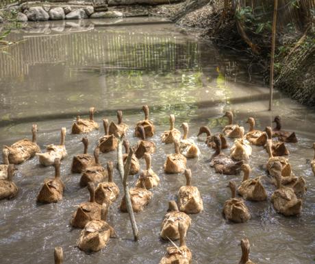 Amankila duck farm