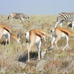 Zebras & Antelope