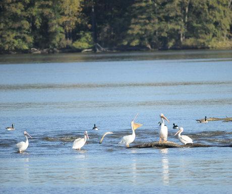 Pelicans Starfed Rock