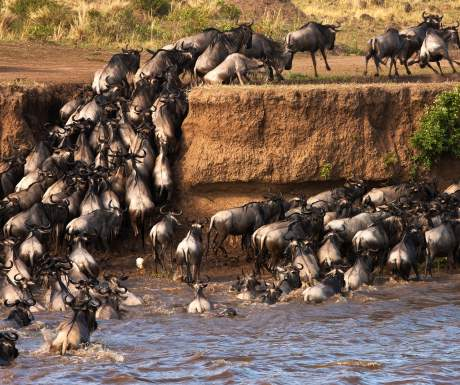 Wildebeest Migration Mara Plains