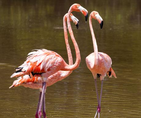 Flamingo, Mexico