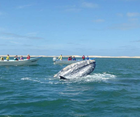Grey whale, Mexico