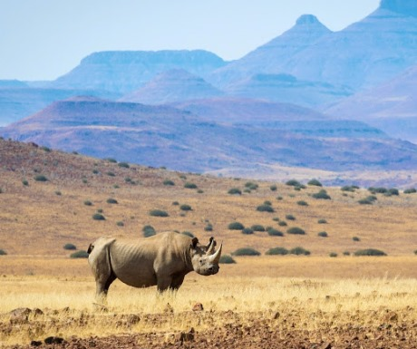 Free Roaming Rhino in Damaraland