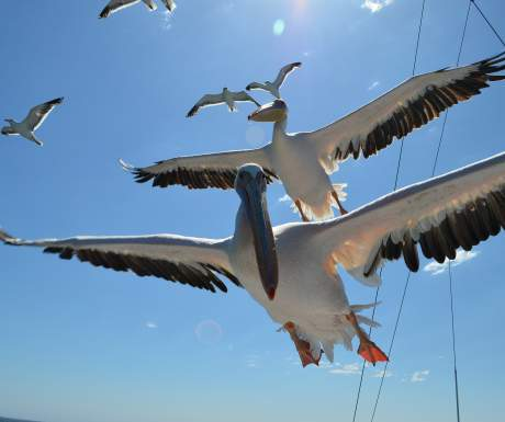 Walvis Bay pelicans