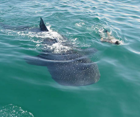 Whale shark diving, Mexico