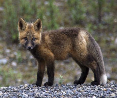 Yukon Red Fox