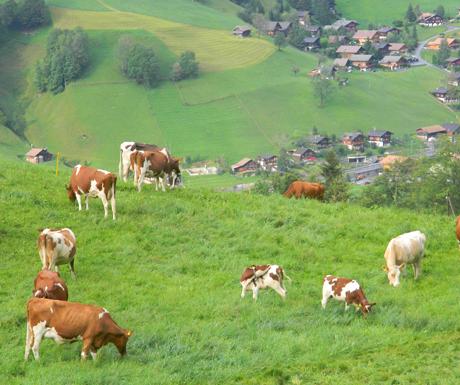 Grindelwald Cows