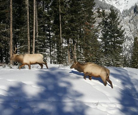 Elk in Banff National Park
