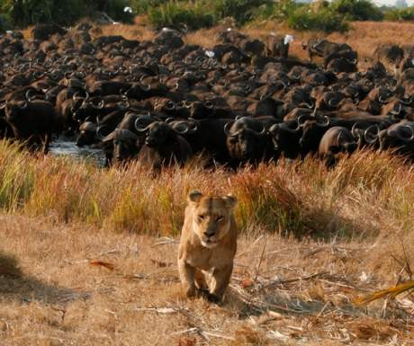 Great Plains Conservation Lioness Outnumbered By Buffalo