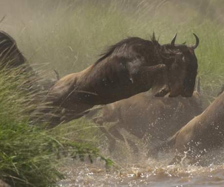 Offbeat Safaris Masai Mara wildebeest migration