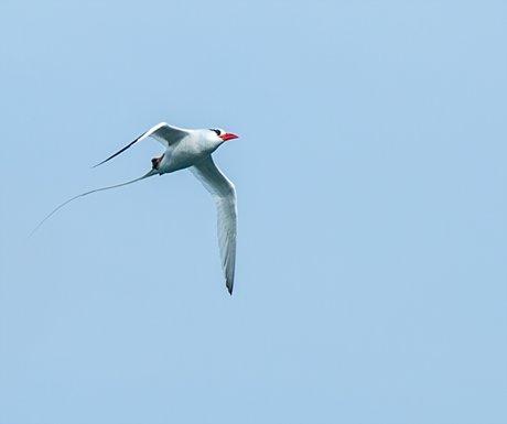 Red Billed Tropicbird
