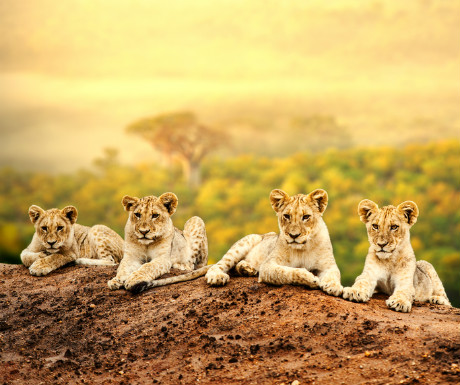Timing - lion cubs