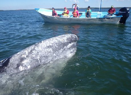 Gray Whale  in Baja California