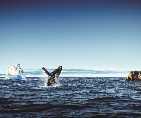 Humpback with Iceberg, Newfoundland