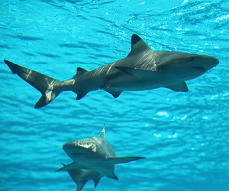 Sharks at Atlantis, The Palm