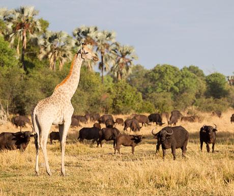 Chitabe giraffe