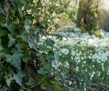 Snowdrops at Sizergh