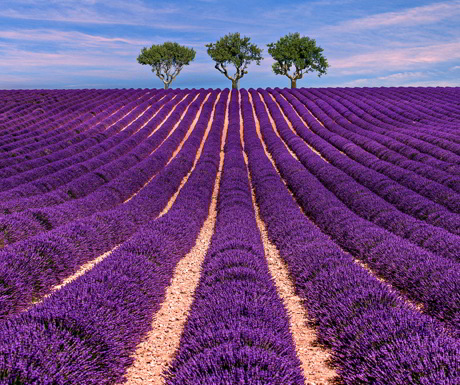 luberon-lavender-with-class