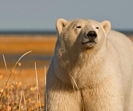 polar-bear-churchill