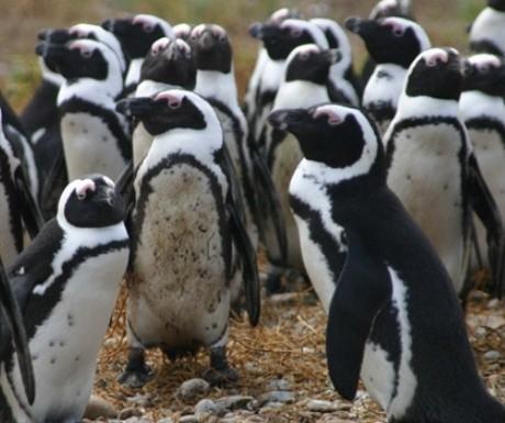 slider_grootbos_penguins
