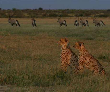Cheetah - Tau Pan - Central Kalahari Game Reserve